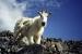 goat_grays_torreys
